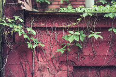 Taking it back (Sarah Rausch) Tags: 50mm 18 red wall sony vine green