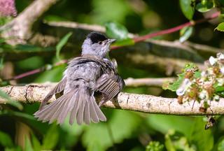 Blackcap, male. Sunning one's plumage