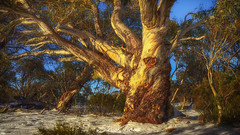 Snow Gum- 1 (Struan Timms Photography) Tags: struantimmsphotography snowymountains snowgum kosciuszko tree nativeplant nationalpark nikcollection nikond750 tokina2035mm