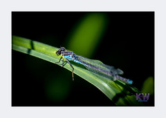 1O7A3398.jpg (kishwphotos) Tags: naturalworld wildlife dragonfly nature walpolepark parks insect attractions naturalhistory bluetaileddamselfly geology