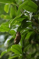 180720011 (murbozero) Tags: murbo japan cicada