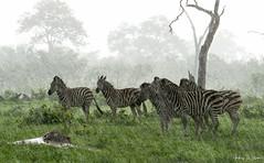 013_8244b Signed_edited-1 (Andrew Wilson 70) Tags: botswana savuti safari zebra rain rainydays raindrops africa african storm