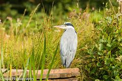 Grey Heron, (Ardea cinerea) (Mick PK) Tags: ardeacinerea bird derbyshire eastmidlands england green greyheron hardwick hardwickpark heron nationaltrust places rowpond uk