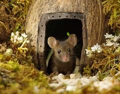 George the mouse in a log pile house (3) (Simon Dell Photography) Tags: house mouse log pile door coconut mossy moss logs wood stack garden wild wildlife cute funny detail close up awesome viral ears eyes george mini mildred sheffield s12 hackenthorpe decorated summer images mice two mouses animals rodents
