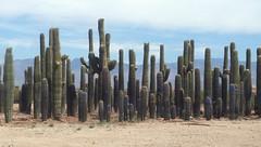 The cactus ninjas stand up to the giants (radargeek) Tags: az arizona tucson cellphone cactus saguaro 2018 may