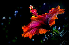 one night on Bali Ha'i (milomingo) Tags: flower nature bloom blossom petal plant horticulture botanical garden hibiscus tropical exotic multicolored closeup bright bold vivid vibrant light dark shadow contrast photoart concept a~i~a stamen vividstriking buttergarden itsallaboutflowers exquisitelygorgeousflowers floralfantasy