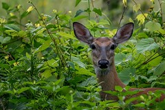 The suspect. (ricmcarthur) Tags: deer morpeth ontario canada ca rondeau yard ricmcarthur rickmcarthur rondeauric