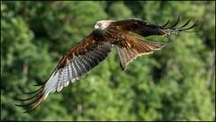Milan royal / Red Kite (denismichaluszko) Tags: milan royal nature action rapace vol