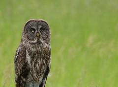 Great Gray Owl (Guy Lichter Photography - 4M views Thank you) Tags: greatgrayowl owls owl birds bird animals animal wildlife manitoba canada canon5d3