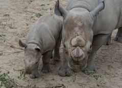 lulu and kibbibi - Cleveland Zoo (Tim Evanson) Tags: clevelandzoo clevelandmetroparks clevelandmetroparkszoo clevelandohio zoo dicerosbicornismichaeli easternblackrhino rhino blackrhino