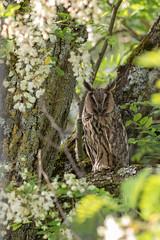 Hibou moyen-duc (sfrancois73) Tags: oiseau faune hiboumoyenduc