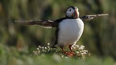 Wing stretch (Paula Richards) Tags: skomer wales puffin panasonicfz1000 bird