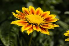 Apache Gazinia 2018 (David S Wilson) Tags: floral davidswilson leicaq ely england flowers lightroom 2018 gazinia daisy