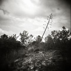 Summer sun (O9k) Tags: dianaf lomography mediumformat sitges garraf agave maguey flower landscape summer blackandwhite film analog analogue vignette toycamera lofi