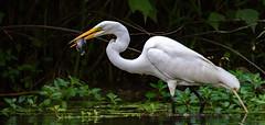 Great egret catches a fish 2472 (bradtort) Tags: greategret fish hunting feeding forestpark stlouis missouri usa suburban