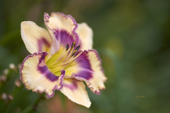 Cosmic Splash (ChristopherLeeHewitt) Tags: daylily flower foliage flora summer july garden grower color closeup nature nursery nikond810 bloom blossom petals plants pollen purple cream ngc