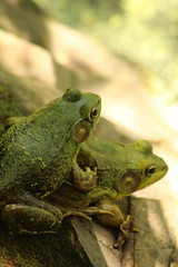 Frogs (historygradguy (jobhunting)) Tags: easton ny newyork upstate washingtoncounty animal two frog frogs amphibian