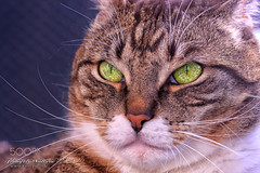 Potrait of my lord (KevinBJensen) Tags: cat face portrait cateyes cats cateye playing cute katzenauge katzen katzenaugen katzenportrait