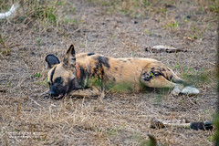 African Wild Dogs (Lycaon pictus) - DSC_5458 (nickybay) Tags: africa mozambique gorongosa sofala macro bugshot canidae lycaon pictus