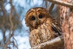 Strix aluco, Χουχουριστής, Tawny Owl (belas62) Tags: κουκουβάγια αρπακτικόπουλί ngc owl greece attica bird tree animal forest υμηττόσ