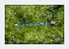 1O7A3515.jpg (kishwphotos) Tags: damselfly naturalworld wildlife naturalhistory commonbluedamselfly nature faunaandflora walpolepark anthropology parks insect attractions dragonfly geology