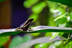 Black and Yellow Tropical Frog (thatSandygirl) Tags: animal frog amphibian mysticaquarium wildlife nature green depthoffield bokeh black yellow striped tropical