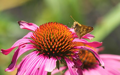 Skipper on Purple Coneflower (mmorriso2002) Tags: butterfly skipper purpleconeflower