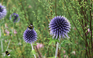 Moscow, the Flowers of the Blue globe-thistle (Echinops bannaticus, Asteraceae) blossomed in the park