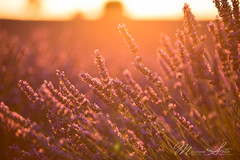 Lavender at sunset (Massimo Sotto) Tags: agriculture alpesdehauteprovence bloom blooming field flower france landscape lavande lavender lines nature noperson outdoors plateau provence purple sky sunset travel valensole 250