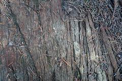 Texture of pine needles on stone (quinet) Tags: 2018 canada textur whistler texture britishcolumbia 124
