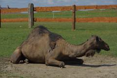 26.7.18 Chynov and camels 19 (donald judge) Tags: czechia south bohemia toulava chynov zahostice camels