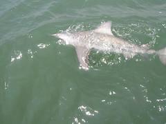 Bull Shark (Carcharhinus leucas) (jd.willson) Tags: jd willson jdwillson nature wildlife fish fishing deep sea saltwater salt water shark bull carcharhinus leucas