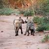 Two spotted hyena (leo.compan) Tags: spottedhyena hyena mammal animal africananimals africanmammal bigmammal