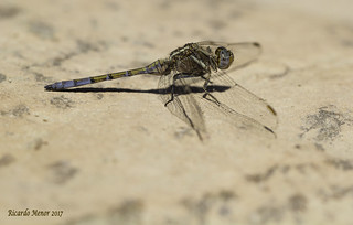 Orthetrum chrysostigma. Young male