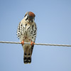 American Kestrel / Falco sparverius (annkelliott) Tags: alberta canada swofcalgary nature ornithology avian bird birds falcon kestrel americankestrel falcosparverius familyfalconidae frontview distant perched highwire sky outdoor spring 20april2018 nikon b700 annkelliott anneelliott ©anneelliott2018 ©allrightsreserved