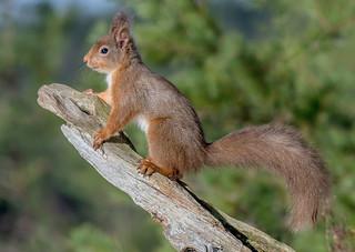 DSC3641 Red Squirrel..