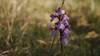 Orchis Morio dans la lumière du matin - Les Chausselles - Myon (francky25) Tags: orchis morio dans la lumière du matin les chausselles myon orchidée sauvage franchecomté doubs orchids