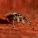 Zebra Jumping Spider Salticus scenicus