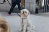 Jake (Charley Lhasa) Tags: ricohgrii grii 183mm 35mm35mmequivalent iso400 ¹⁄₂₀₀₀secatf28 0ev aperturepriority pattern noflash s001027 dng uncropped taken180416161452 uploaded180417041424 3stars flagged adobelightroomclassiccc73 lightroomclassiccc73 adobelightroom lightroom day dogsmet jake newyork unitedstates us charley charleylhasa lhasaapso dog dogs rescue 3 walk sidewalk neighborhood upperwestside uws manhattan newyorkcity nyc ny tumblr180417 httpstmblrcozpjiby2xaivx8