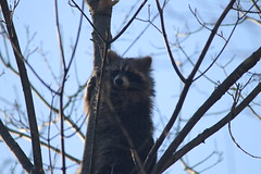 Raccoon at Maybury State Park (Northville, Michigan) - Thursday April 19, 2018 (cseeman) Tags: parks stateparks michiganstateparks departmentofnaturalresources michigandepartmentofnaturalresources northville michigan maybury mayburystatepark trees trails paths nature publicparks wildlife raccoon animals mayburyapril2018