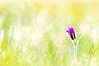 anémone pulsatille (Pulsatilla vulgaris) (G.NioncelPhotographie) Tags: fleur printemps anémone pulsatille pulsatilla vulgaris