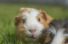 Happy Guinea Pig (Mrs_Hadfield) Tags: animal nature pet guineapig guinea cute smiling grass uk