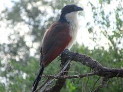 Burchell's Coucal (Iris ***) Tags: bird birds oiseau oiseaux coucal burchellscoucal kruger krugerpark parckruger southafrica africa afriquedusud afrique wildlife