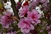 Cherry Blossom _DSC0098 (Me now0) Tags: nikond5300 micronikkor40mm cherryblossom