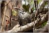 7805 Asian  koel (chandrasekaran a 47 lakhs views Thanks to all) Tags: asiankoel koel birds nature india chennai canoneos6dmarkii tamronsp150600mmg2