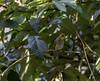 20180407-0I7A9782 (siddharthx) Tags: achampet bird birdwatching birdsofindia birdsoftelangana canon canon7dmkii closerange dawn dawnsunriseumamaheshwaram ef100400f4556isii goldenhour portraiture sunrise telangana umamaheshwaramtemple umamaheshwaram india in yellowthroatedbulbul bulbul tree leaf wood sky forest