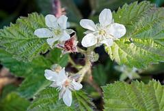 Blackberry (LeftCoastKenny) Tags: edgewoodpark flower wildflower