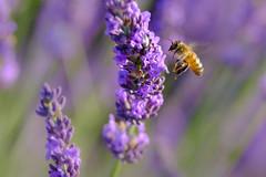 _DSF3243-XT (laurentspinner) Tags: abeille animaux fleurs insectes lavande lieux macro valensole xt