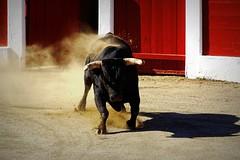 Ceret 2017 - Los Miuras (aficion2012) Tags: ceret france francia catalogne catalunya corrida bull fight bullfight toros toro taureau taureaux tauromachie paulita miura 2017 amarguita toril tauromaquia