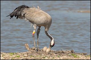 Common Crane (Female) and Eggs
